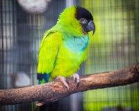 Ντροπαλός πράσινος παπαγάλος στο ζωολογικό κήπο Tenerife, Ισπανία Στοκ Εικόνα