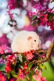 Ντροπαλή φανταχτερή συνεδρίαση αρουραίων στην_X_ ροδαλή πλύση η ίδια ανθών μήλων Στοκ Φωτογραφία