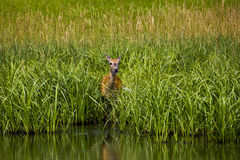 Ντροπαλό κρύψιμο ελάφων από τα αρπακτικά ζώα Στοκ Φωτογραφία