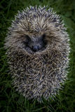 Ντροπαλό porcupine Στοκ φωτογραφία με δικαίωμα ελεύθερης χρήσης
