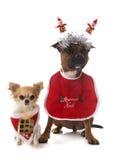 Ντυμένα τεριέ και chihuahua ταύρων Staffordshire Στοκ φωτογραφία με δικαίωμα ελεύθερης χρήσης