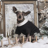 Ντυμένο επάνω κινεζικό λοφιοφόρο σκυλί σε ένα χειμερινό τοπίο Στοκ φωτογραφία με δικαίωμα ελεύθερης χρήσης