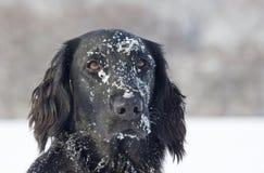 ντυμένο επίπεδο retriever χιόνι Στοκ φωτογραφία με δικαίωμα ελεύθερης χρήσης