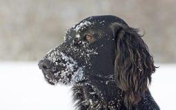 ντυμένο επίπεδο retriever χιόνι Στοκ Φωτογραφία