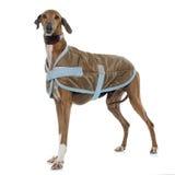 Ντυμένο azawakh κυνηγόσκυλο Στοκ Εικόνες
