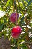 Ντόπιος Pachira οπωρωφόρων δέντρων της Κεντρικής Αμερικής, Στοκ εικόνα με δικαίωμα ελεύθερης χρήσης