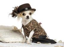 Ντύνω-επάνω στη συνεδρίαση Chihuahua σε έναν τάπητα, που απομονώνεται Στοκ Φωτογραφία