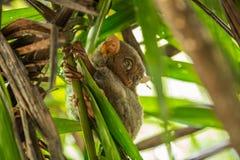 Νυκτερινός ζωικός πιό tarsier, με τα μεγάλα στρογγυλά μάτια, σε έναν κλάδο δέντρων στο χρόνο ημέρας στοκ εικόνες