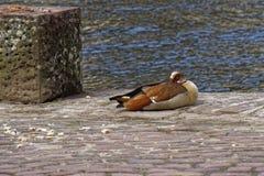Νυσταλέα αιγυπτιακή χήνα στην άγρια φύση μια ηλιόλουστη ημέρα Στοκ φωτογραφίες με δικαίωμα ελεύθερης χρήσης
