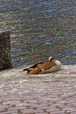 Νυσταλέα αιγυπτιακή χήνα στην άγρια φύση μια ηλιόλουστη ημέρα Στοκ Εικόνα