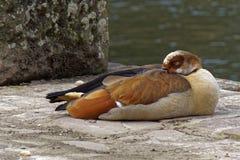 Νυσταλέα αιγυπτιακή χήνα στην άγρια φύση μια ηλιόλουστη ημέρα Στοκ εικόνες με δικαίωμα ελεύθερης χρήσης