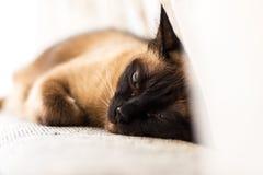 Νυσταλέα, οκνηρή, τρυπημένη σιαμέζα γάτα στοκ εικόνα