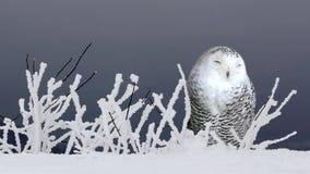 Νυσταλέα πολική κουκουβάγια στο χιόνι απόθεμα βίντεο