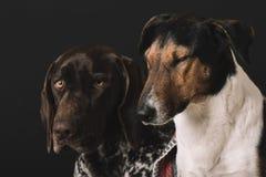 Νυσταλέα σκυλιά στο σπίτι Χαριτωμένο πορτρέτο σκυλιών δύο σκοτεινό πορτρέτο δύο πελεκάνων φιλίας έννοιας ανασκόπησης υγρό Τεριέ κ Στοκ Φωτογραφία