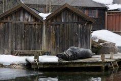 Νυσταλέα σφραγίδα Στοκ εικόνες με δικαίωμα ελεύθερης χρήσης