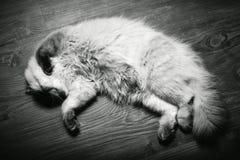 Νυσταλέα χνουδωτή γάτα στοκ εικόνες