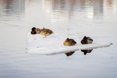 Νυσταλέες πάπιες ομάδας στήριξης στην κινηματογράφηση σε πρώτο πλάνο επιπλέοντος πάγου πάγου, παρασύρων πάγος στον ποταμό χειμώνα Στοκ Φωτογραφίες