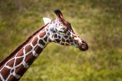 Νυσταλέο Giraffe Στοκ εικόνες με δικαίωμα ελεύθερης χρήσης