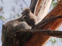 Νυσταλέο Koala στο δέντρο στοκ φωτογραφία