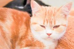 Νυσταλέα γάτα Στοκ Φωτογραφία