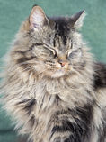 Νυσταλέα νορβηγική δασική γάτα Στοκ Εικόνα
