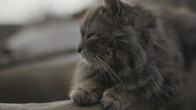 Νυσταλέα παλαιά γκρίζα γάτα κοιμισμένη Οκνηρή βρώμικη στήριξη γατών Μακριά αστεία μουστάκια Κανένας άνθρωπος γύρω, πορτρέτο γατών φιλμ μικρού μήκους