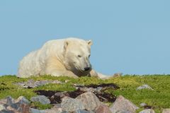 Νυσταλέα πολική αρκούδα σε ένα μπάλωμα της χλόης Στοκ εικόνες με δικαίωμα ελεύθερης χρήσης