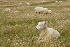 νυσταλέα πρόβατα στο grassfield Στοκ εικόνες με δικαίωμα ελεύθερης χρήσης