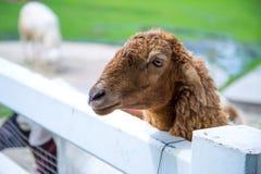 Νυσταλέα πρόβατα Στοκ φωτογραφίες με δικαίωμα ελεύθερης χρήσης