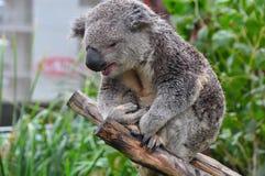 Νυσταλέα συνεδρίαση Koala σε έναν κλάδο δέντρων στην Αυστραλία Στοκ Εικόνες