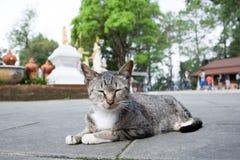 Νυσταλέα ταϊλανδική γάτα στο ναό Στοκ Εικόνες
