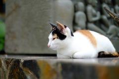 νυσταλέα ταϊλανδική γάτα στοκ φωτογραφίες