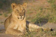 Νυσταλέος-eyed λιοντάρι (leo Panthera) στοκ εικόνα με δικαίωμα ελεύθερης χρήσης