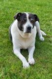 Νυσταλέο παλαιό σκυλί Στοκ Φωτογραφίες