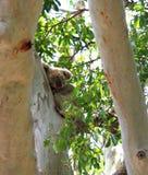 Νυσταλέο Koala αντέχει σε ένα δέντρο γόμμας Στοκ Εικόνα