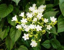 Νυφικό αναρριχητικό φυτό, αναρριχητικό φυτό χιονιού, άμπελος χιονιού Στοκ Εικόνα
