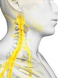 Νωτιαίος μυελός και ανώτερα νεύρα Στοκ Εικόνες