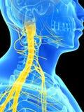 Νωτιαίος μυελός και ανώτερα νεύρα Στοκ φωτογραφία με δικαίωμα ελεύθερης χρήσης