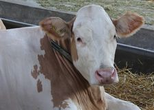 Νόβι Σαντ, Σερβία, 20 05 2018 δίκαιη, καφετιά και άσπρη αγελάδα Στοκ Φωτογραφίες