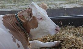 Νόβι Σαντ, Σερβία, 20 05 2018 δίκαιη, καφετιά και άσπρη αγελάδα Στοκ Εικόνα