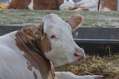 Νόβι Σαντ, Σερβία, 20 05 2018 δίκαιη, καφετιά και άσπρη αγελάδα Στοκ Φωτογραφία