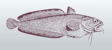 Νόθος κόκκινος βακαλάος ή βόρειο νόθο codling breviuscula pseudophycis, ένα ψάρι από την Αυστραλία κατά την άποψη σχεδιαγράμματος διανυσματική απεικόνιση