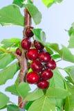 Νόστιμα ώριμα φρούτα μούρων κερασιών σκούρο κόκκινο Στοκ φωτογραφία με δικαίωμα ελεύθερης χρήσης