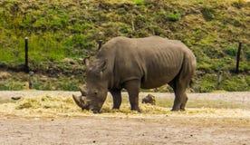 Νότια άσπρη βοσκή ρινοκέρων στην κινηματογράφηση σε πρώτο πλάνο, διακυβευμένο ζωικό specie από την Αφρική στοκ φωτογραφίες