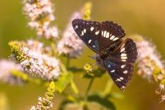 Νότια άσπρη πεταλούδα ναυάρχων (reducta Limenitis) που ταΐζει επάνω Στοκ Φωτογραφίες