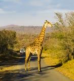 Νότια Αφρική, giraffe που διασχίζει το δρόμο κατά τη διάρκεια μιας κίνησης παιχνιδιών Στοκ Φωτογραφίες