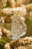 Νότια καφετιά πεταλούδα Argus (cramera Aricia) Στοκ εικόνα με δικαίωμα ελεύθερης χρήσης