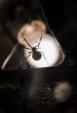 Νότια μαύρη χήρα Στοκ Φωτογραφίες