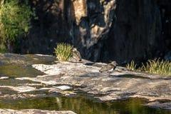 Νότια πουλιά αργυροπουλιών στο πάρκο Salto Ventoso - Farroupilha, Rio Grande κάνει τη Sul, Βραζιλία Στοκ φωτογραφία με δικαίωμα ελεύθερης χρήσης