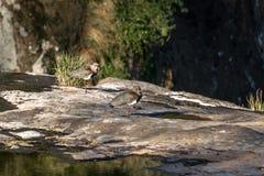 Νότια πουλιά αργυροπουλιών στο πάρκο Salto Ventoso - Farroupilha, Rio Grande κάνει τη Sul, Βραζιλία Στοκ Εικόνα
